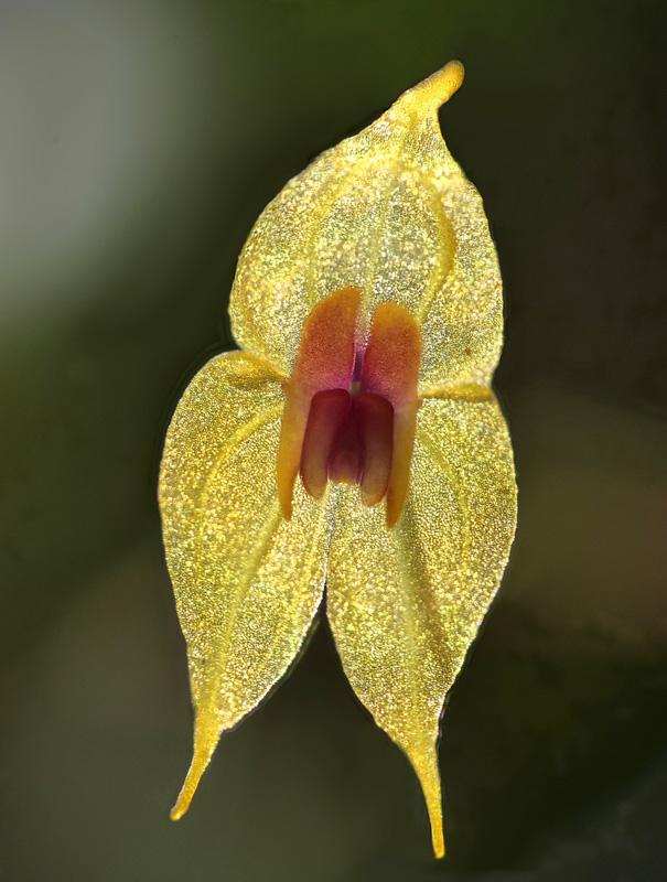Lepanthes guatemalensis Lepant74
