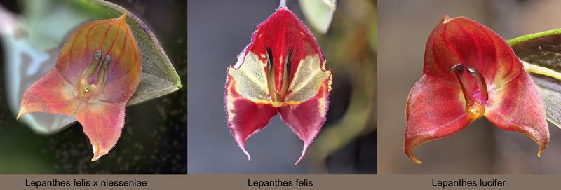 Lepanthes felis Lepant91
