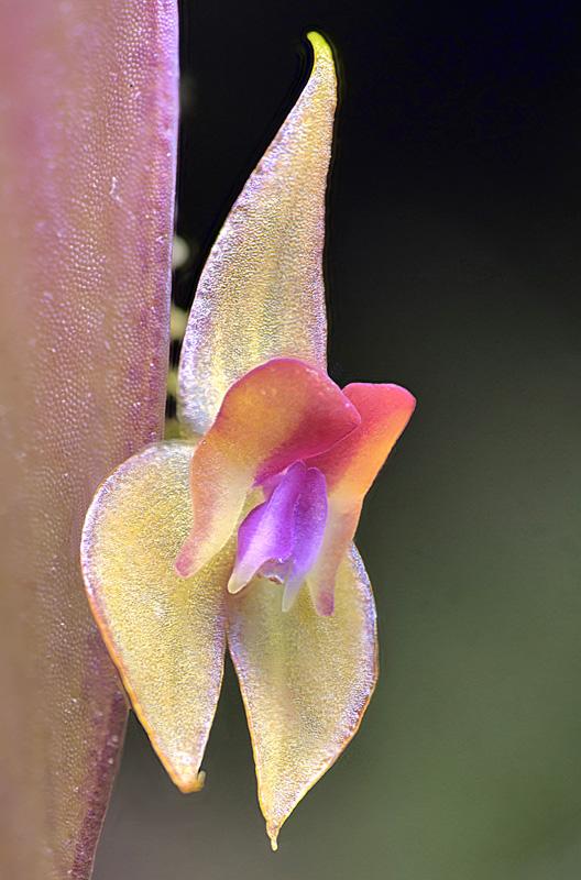 Lepanthes helicocephala Lepant92
