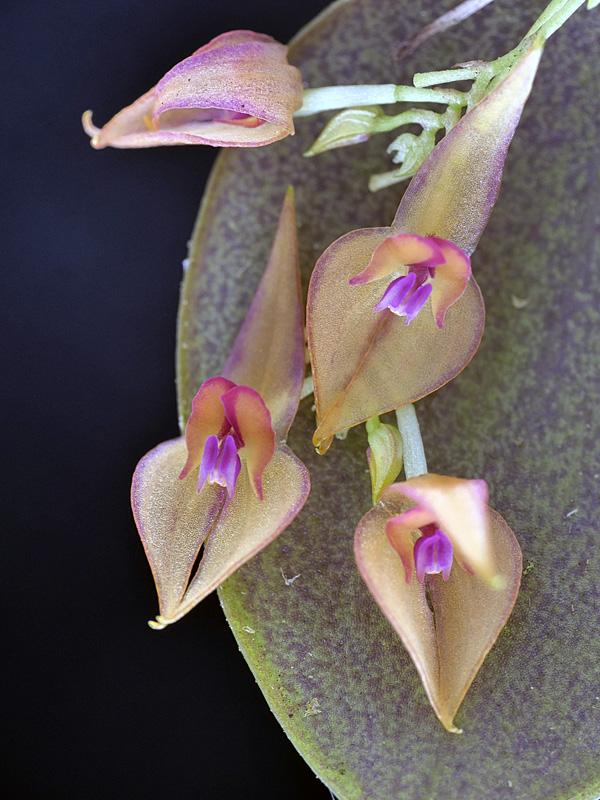 Lepanthes helicocephala Lepant93