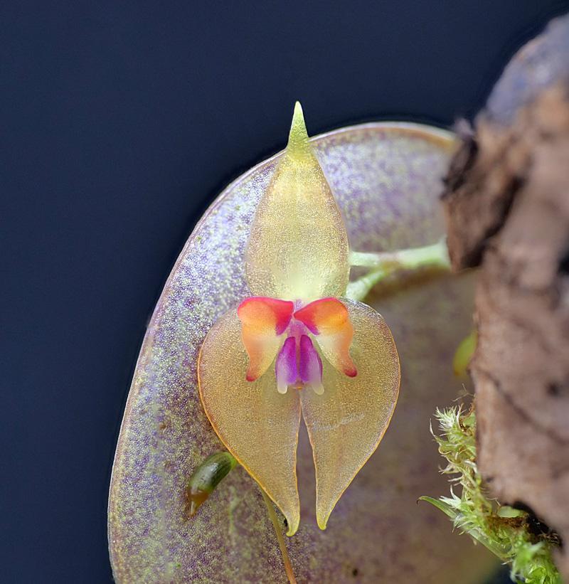 Lepanthes helicocephala Lepant94