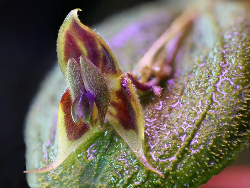 Lepanthes dodsonii Lepant95