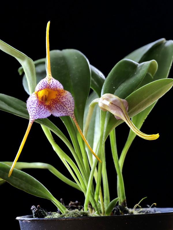 Masdevallia glandulosa x strobelii Masdev22