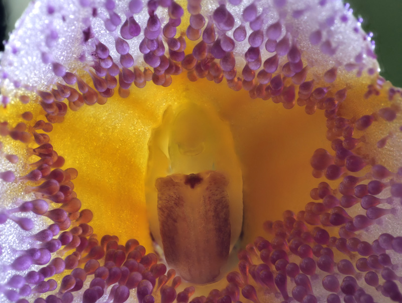 Masdevallia glandulosa x strobelii Masdev23