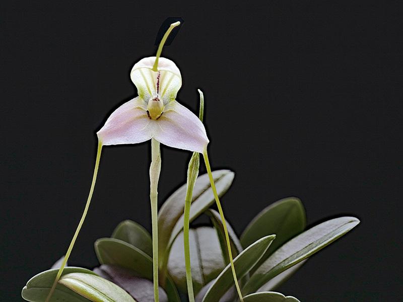 Masdevallia xanthina ssp pallida  Masdev26