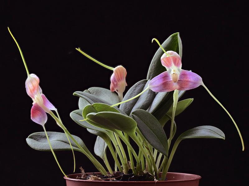 Masdevallia xanthina ssp pallida  Masdev27