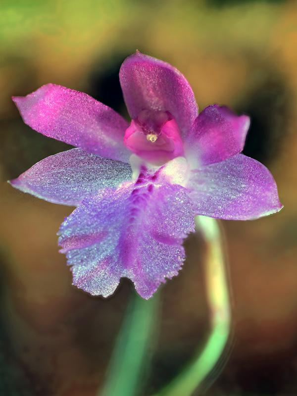 Miniatur-Orchideen Teil 6 - Seite 4 Neolau13