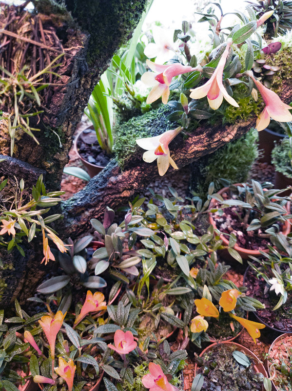 Miniatur-Orchideen Teil 5 - Seite 42 Oxyglo10