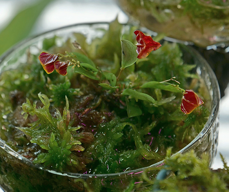 Miniatur-Orchideen Teil 5 - Seite 2 P1001110