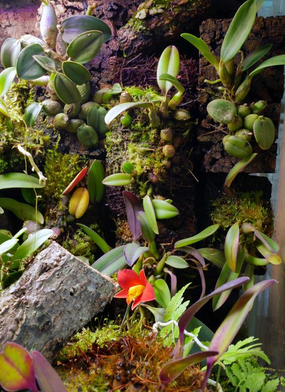 Miniatur-Orchideen Teil 6 - Seite 5 P1060011