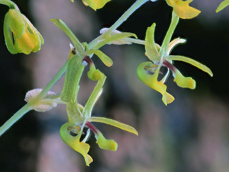 Platyrhiza quadricolor Platyr10