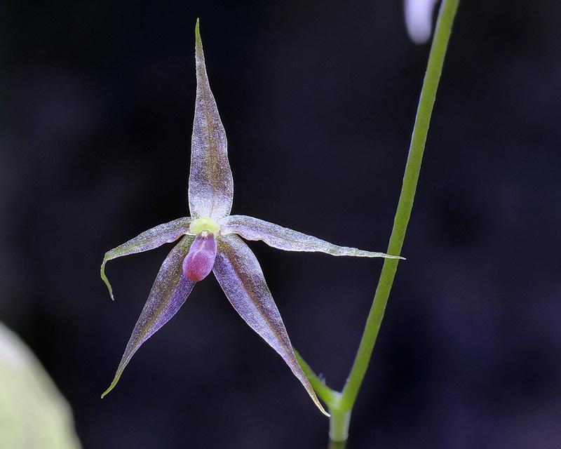 Makroaufnahmen von Miniaturorchideen - Seite 3 Platys28