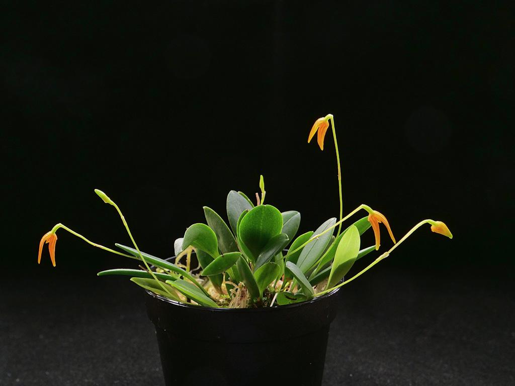Miniatur-Orchideen Teil 5 - Seite 5 Pleuro10