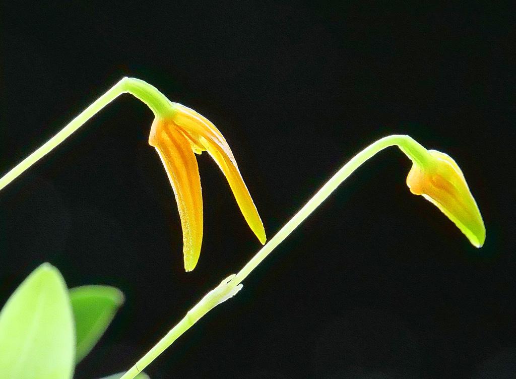 Miniatur-Orchideen Teil 5 - Seite 5 Pleuro11