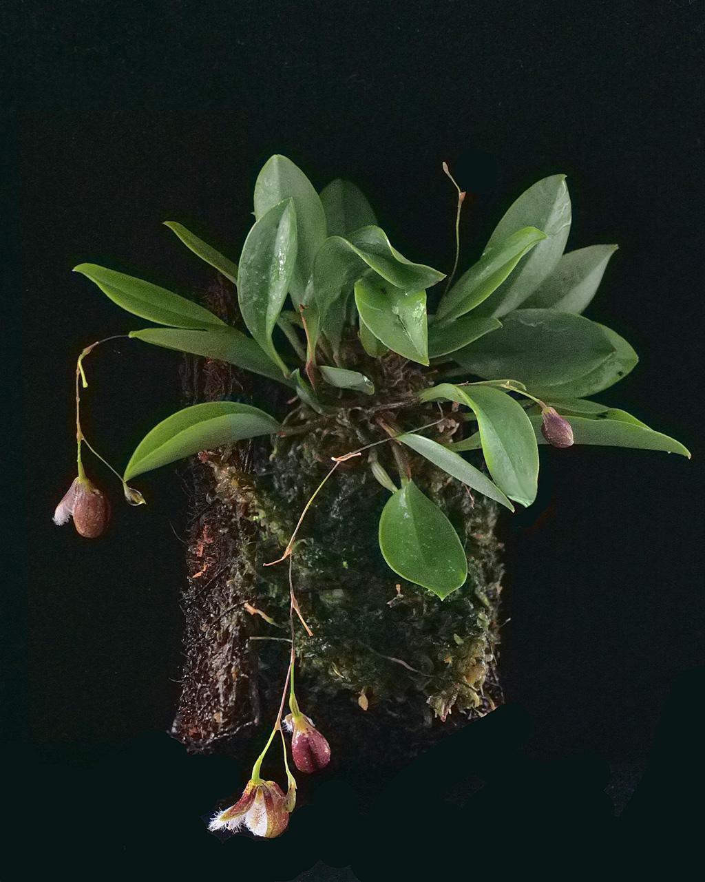 Miniatur-Orchideen Teil 5 - Seite 6 Pleuro12