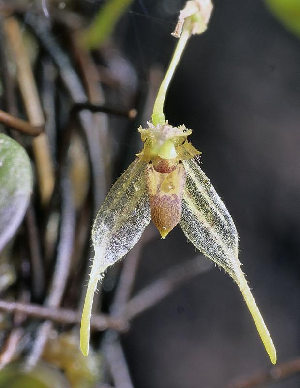 Miniatur-Orchideen Teil 6 - Seite 3 Pleuro19
