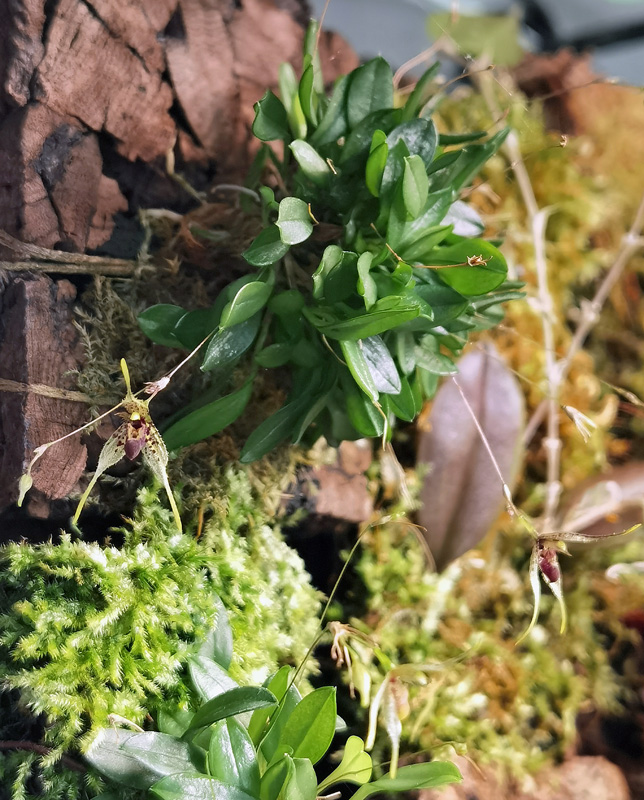 Muscarella marginata (Pleurothallis alata) Pleuro20