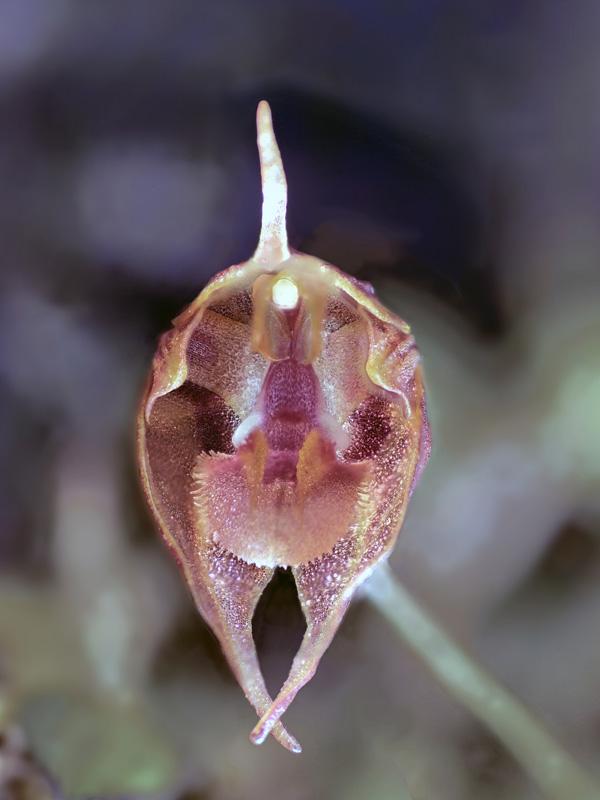 Makroaufnahmen von Miniaturorchideen - Seite 2 Pleuro26