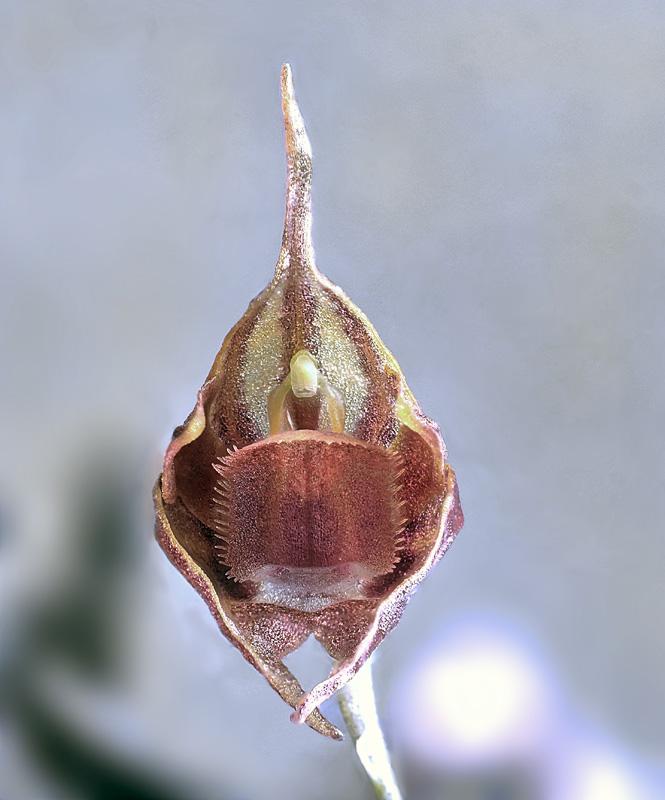 Makroaufnahmen von Miniaturorchideen - Seite 2 Pleuro27