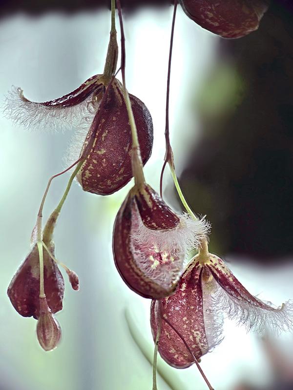 Pleurothallis cypripedioides Pleuro35