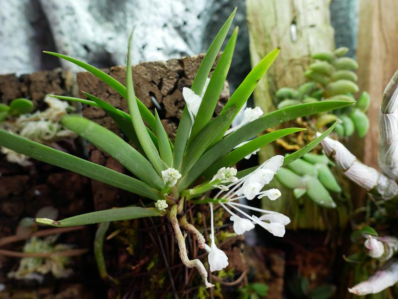 Podangis dactyloceras Podang11