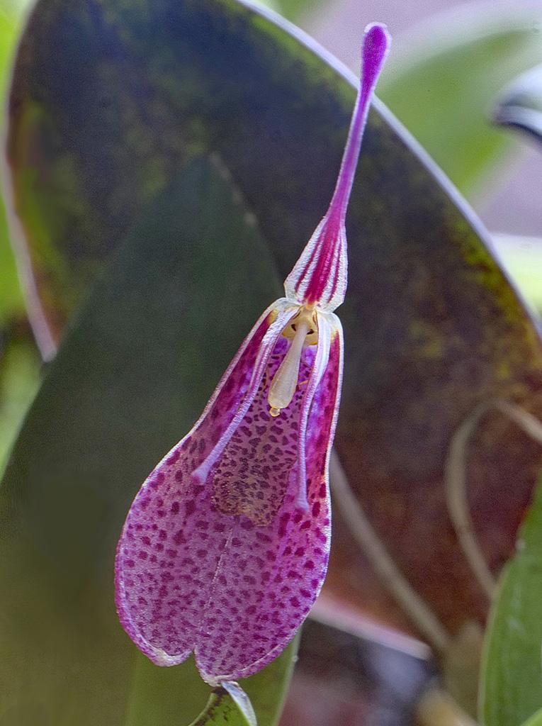 Miniatur-Orchideen Teil 5 - Seite 11 Restre13