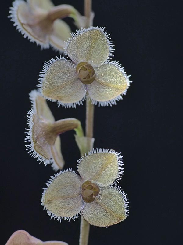 Makroaufnahmen von Miniaturorchideen - Seite 3 Stelis16