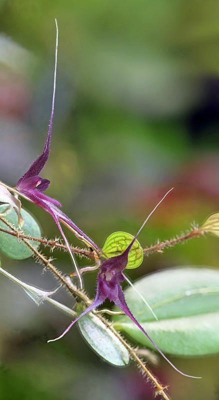 Miniatur-Orchideen Teil 6 - Seite 3 Tricho13