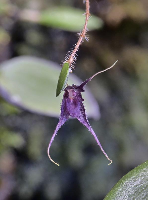 Trichosalpinx chamaelepanthes Tricho16