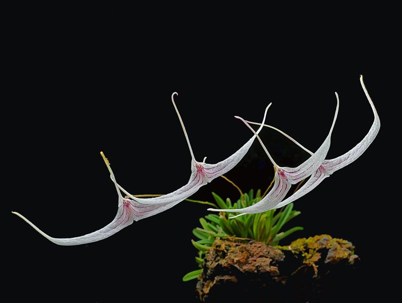 Trisetella hoeijeri  Luer & Hirtz 1986 Triset16