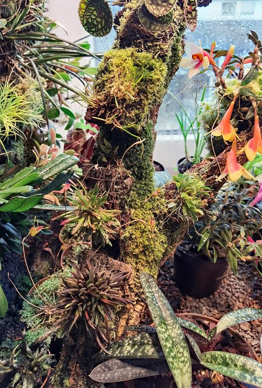 Trisetella hoeijeri  Luer & Hirtz 1986 Triset17