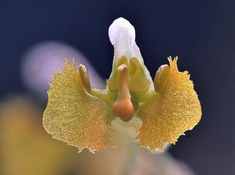 Makroaufnahmen von Miniaturorchideen - Seite 3 Zygost25