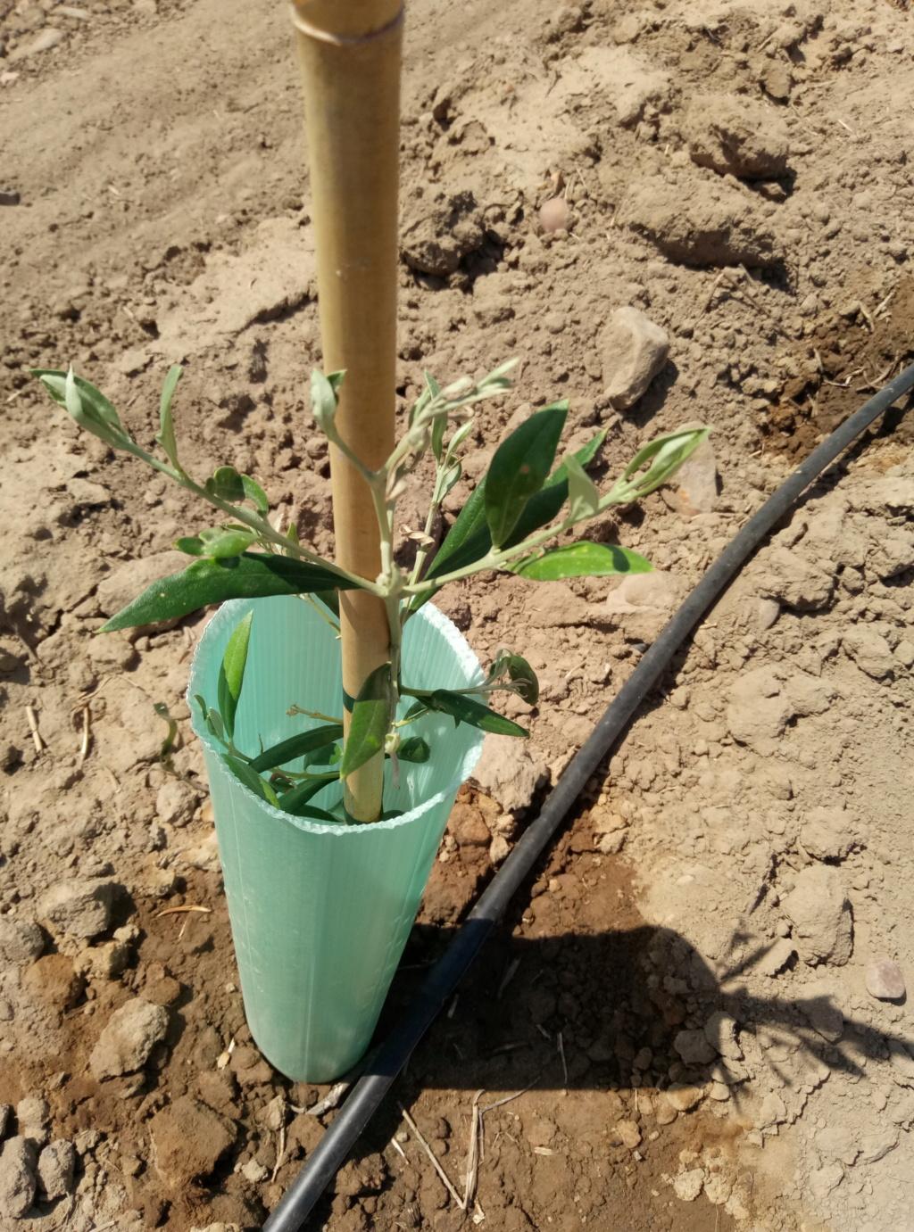 Anomalías en mi plantación (Badajoz) P9072014