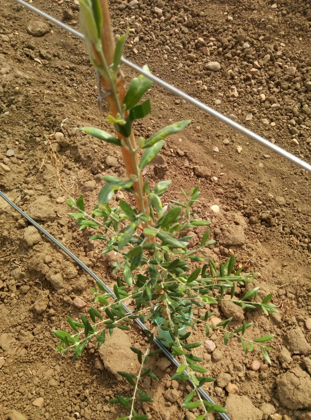 Anomalías en mi plantación (Badajoz) P9091710
