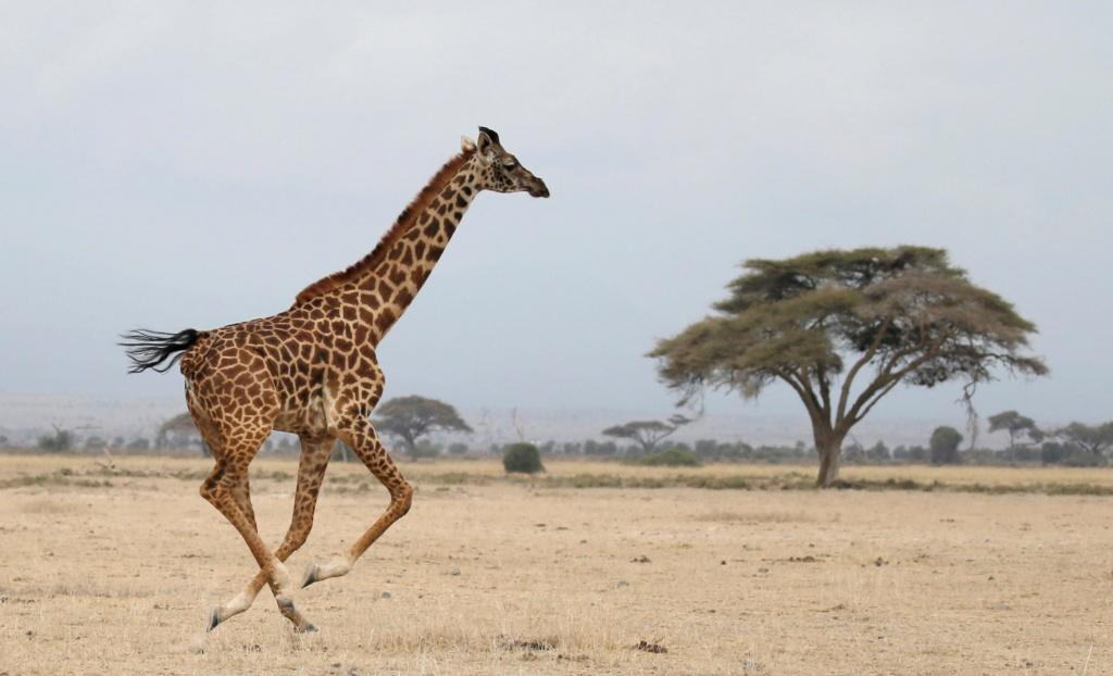 La nature et ses trésors - Page 13 Girafe10