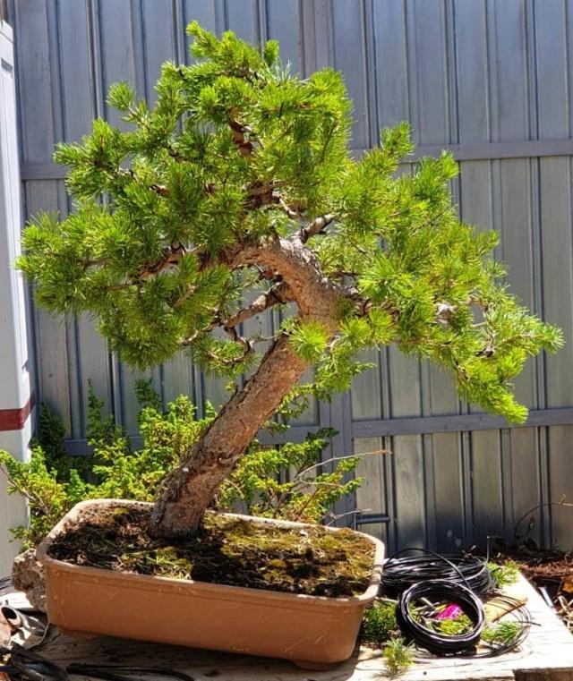 abono Ficus Ginseng   62772b13