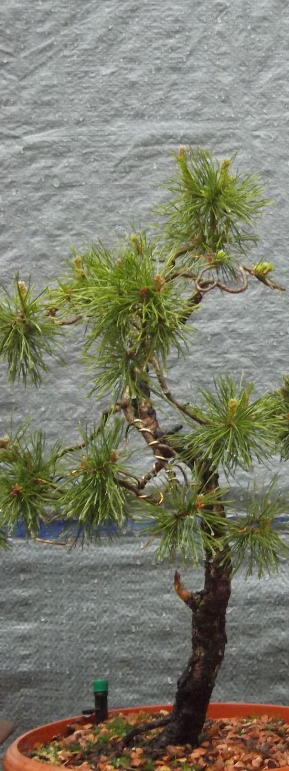 abono Ficus Ginseng   Dscf0013