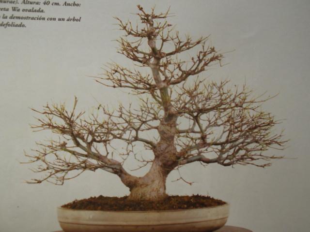 Diseño de un bonsai. Visión de futuro. Dscf1516