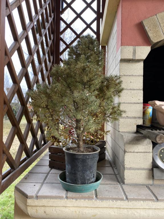 Creare un bonsai da una pianta Image10