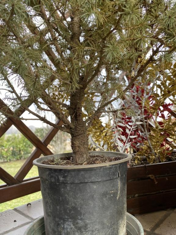 Creare un bonsai da una pianta Image11