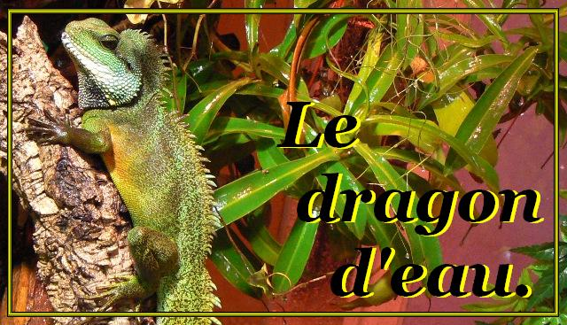 Dragon d'eau, bien l'élever