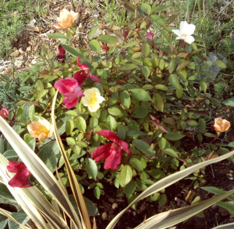 Rosiers buissons Rosier11